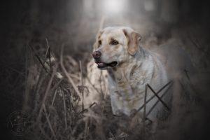 Labrador Retriever im Herbst