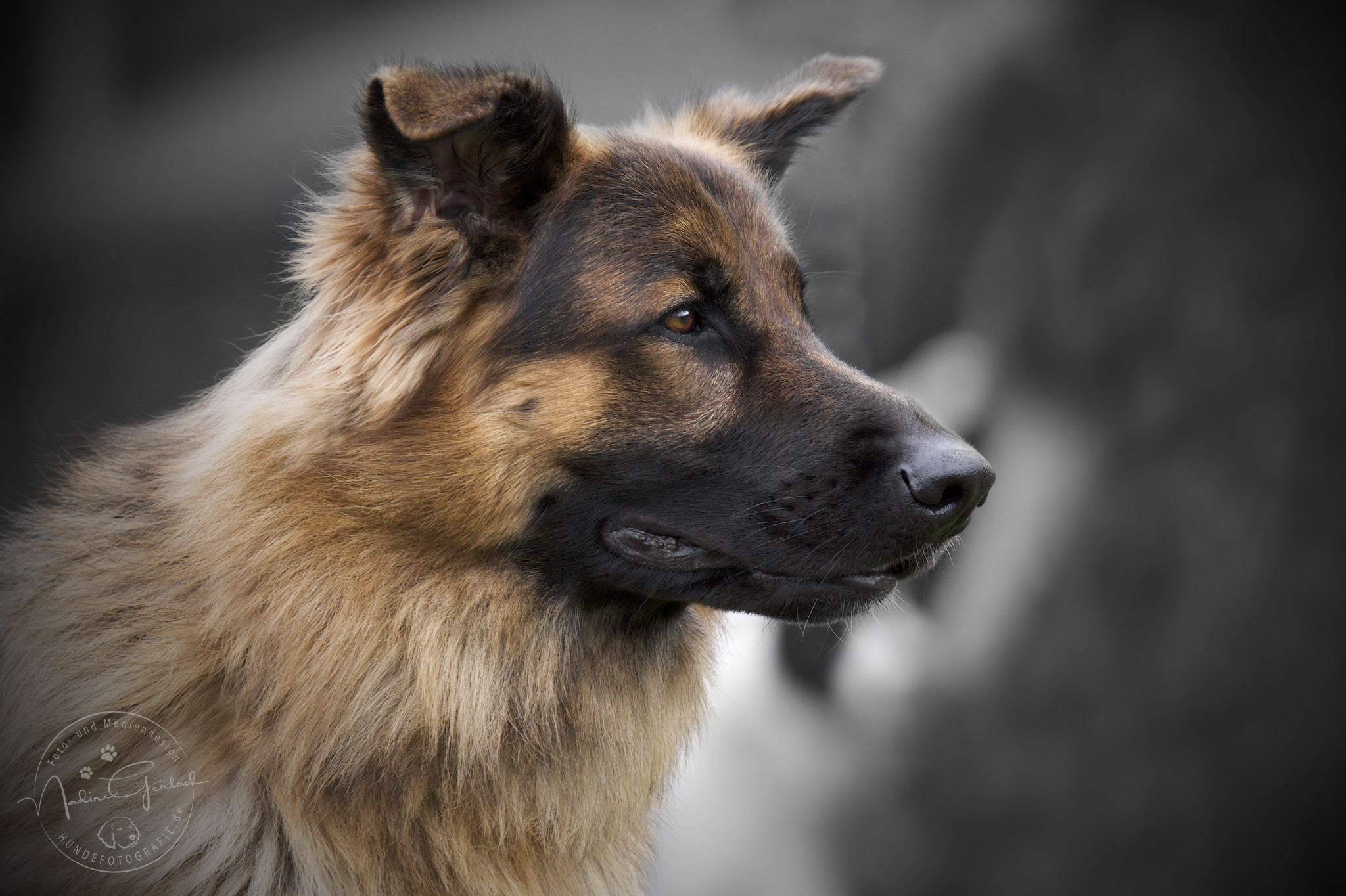 Schäferhund