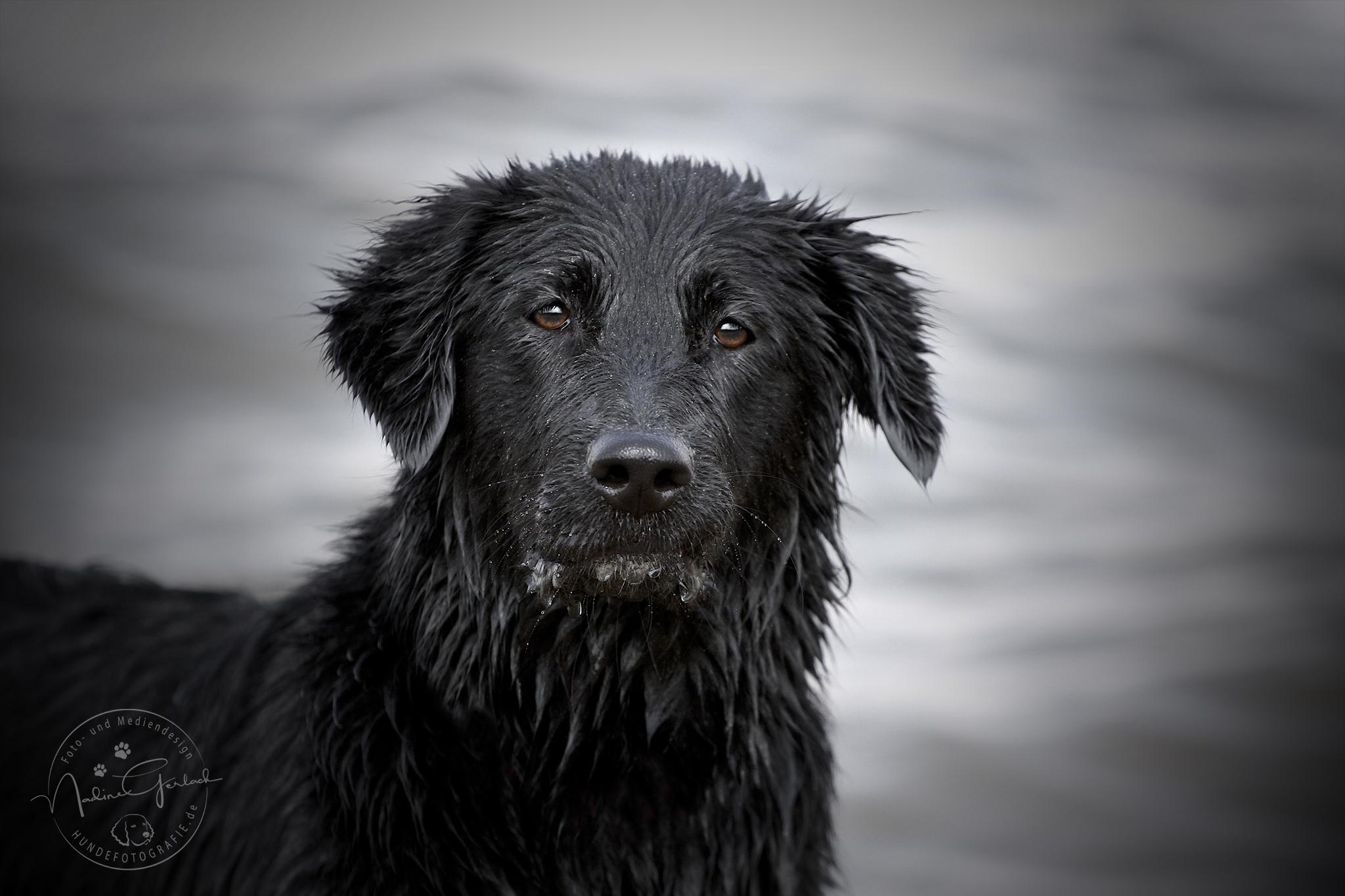 Labradormischling