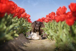 Max in roten Tulpen