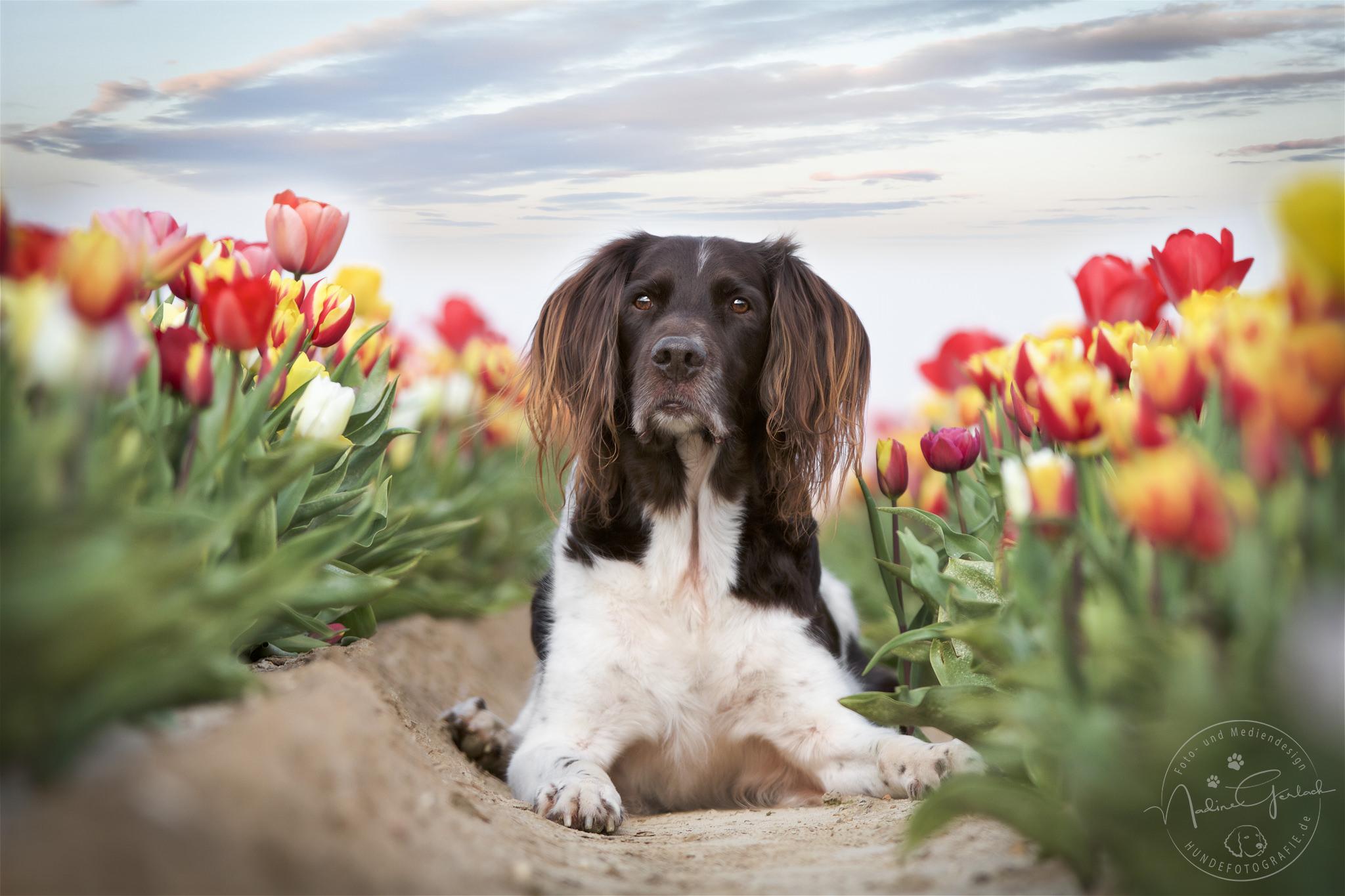Kleiner Münsterländer in bunten Tulpen