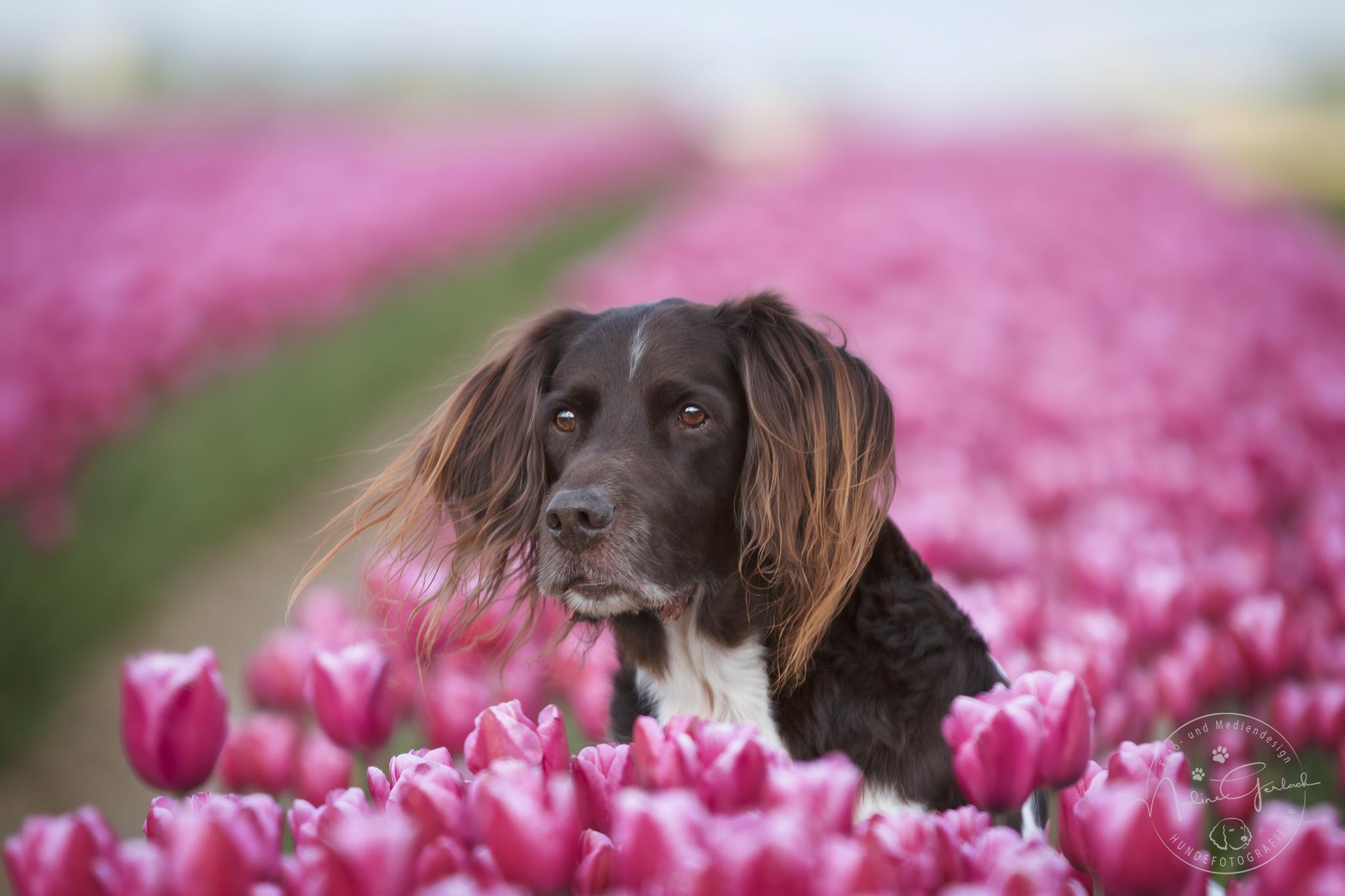 Max in pinken Tulpen