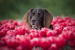 Portrait von Max in roten Tulpen