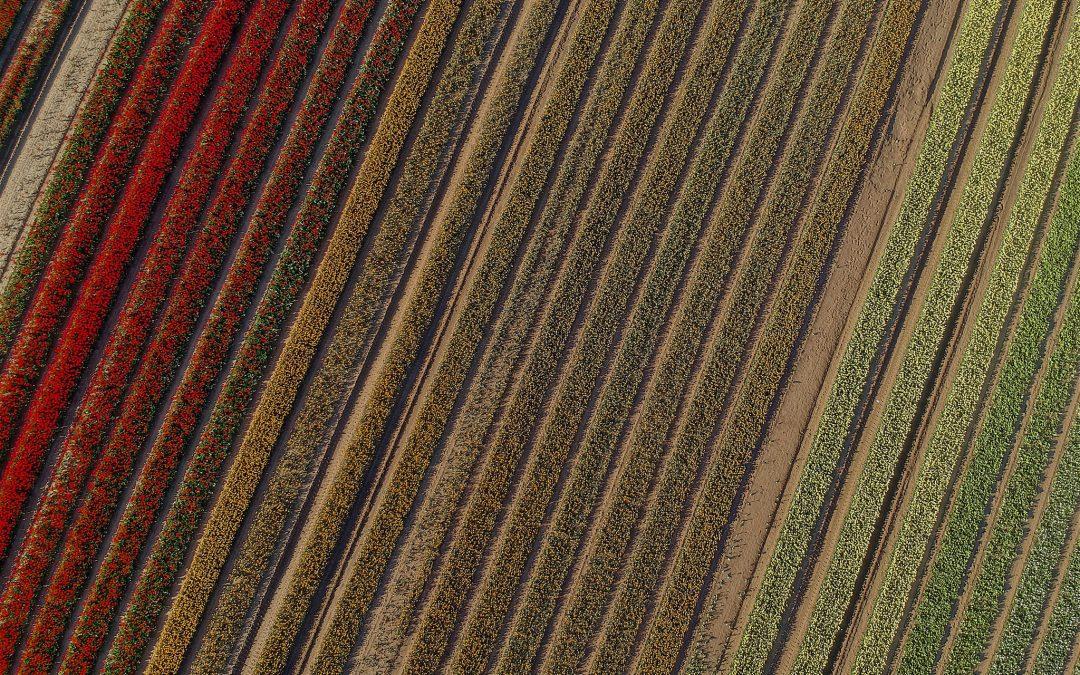 Das Tulpenfeld
