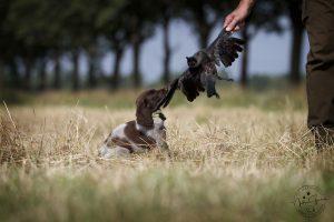 Deutsch Langhaar Butz mit seiner ersten Krähe mit 8 Wochen