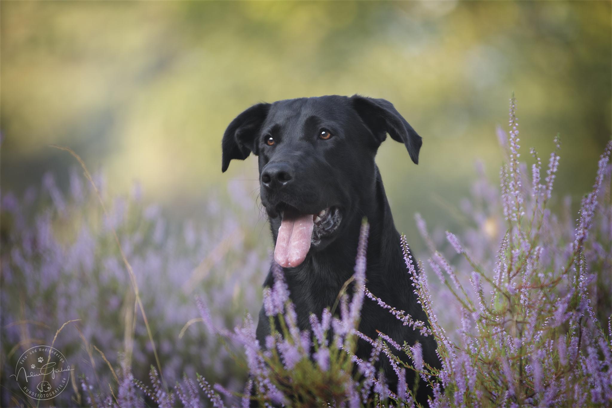 Schäferhundmix in der Heide