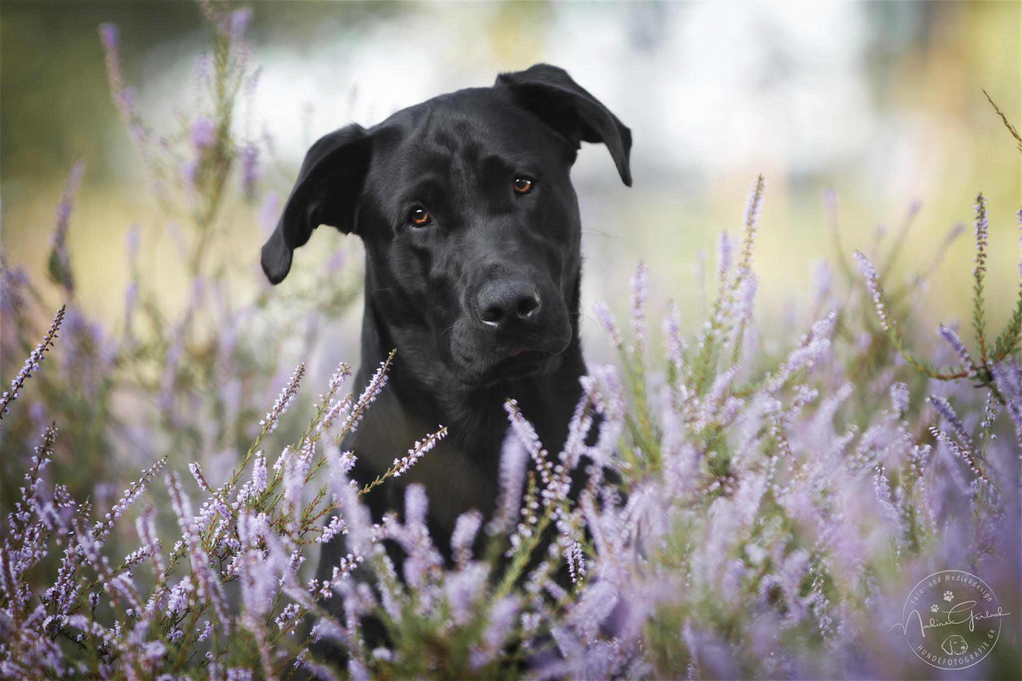 Schaeferhundmix Eddi