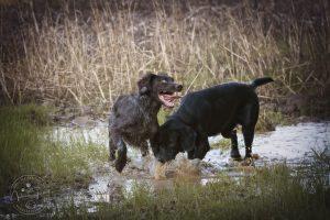 DL Butz und Labrador Filou in der Pfütze